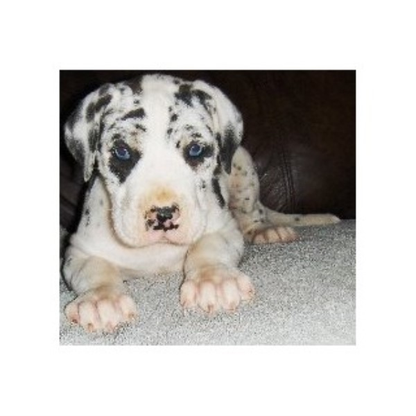 Great Dane breeder in Pipestone, Minnesota