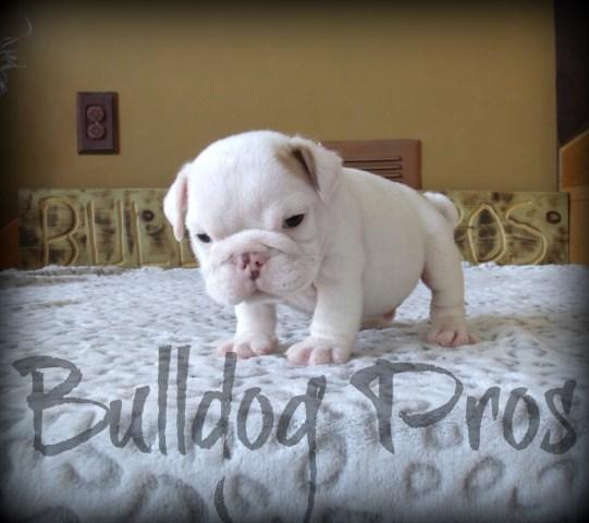 Bulldog Pros English Bulldog Breeder In Lake Of The Ozarks Missouri