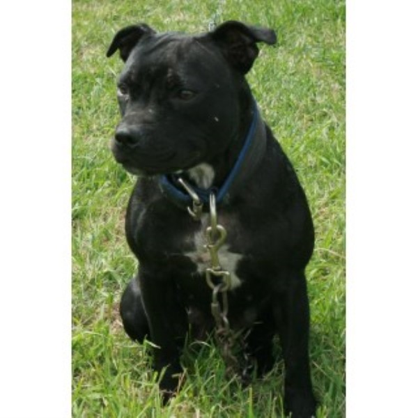 Gamestaff Staffords, Staffordshire Bull Terrier Breeder in Delia