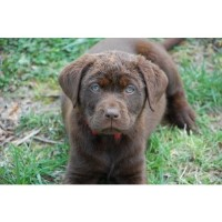 Labrador Retrievers of Marvin