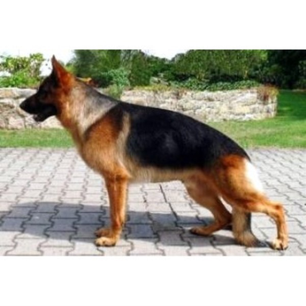 Lebenshunger German Shepherds German Shepherd Dog Breeder In Bangor