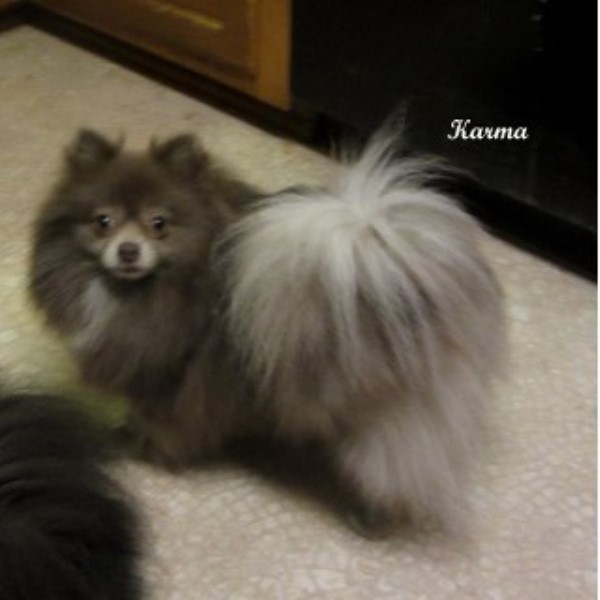 Yielding S Impressive Precious Pups Pomeranian Breeder In