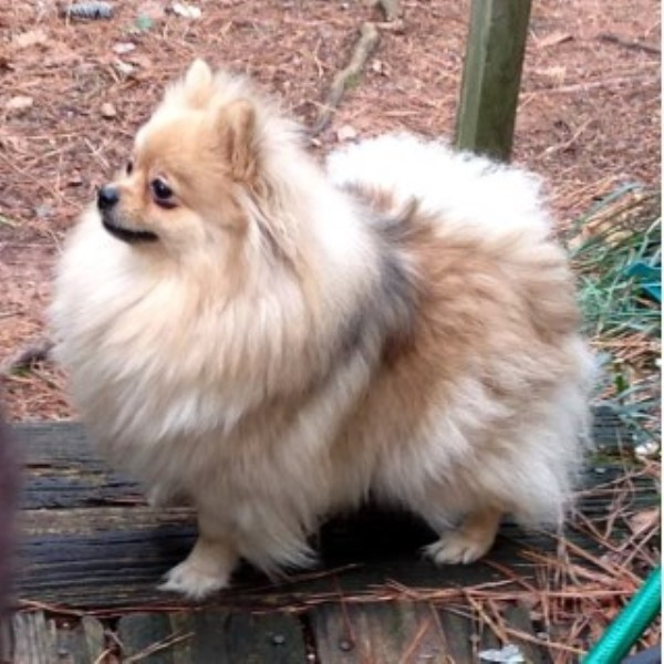 Pomeranian breedering kennel in Birmingham