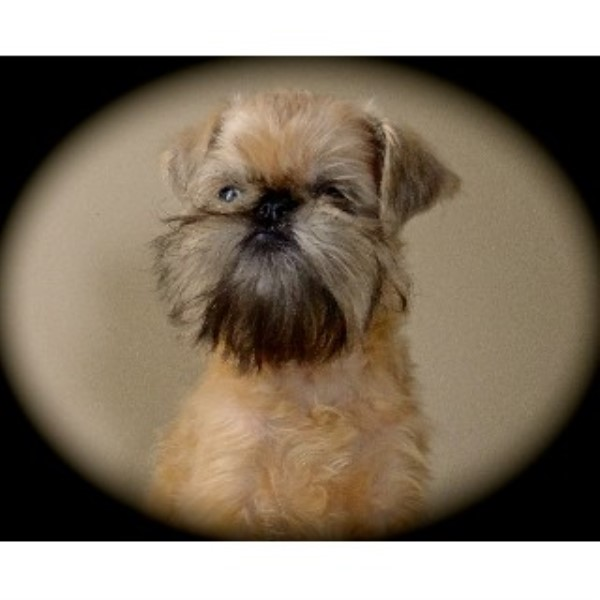 Somershire Kennel Brussels Griffon Breeder In Sutton West Ontario