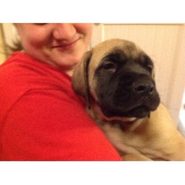 Life Of Riley Mastiff Breeder In Stilesville Indiana