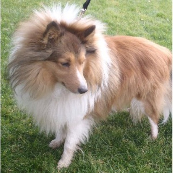 Sheltie Puppies In Arizona, Shetland Sheepdog Breeder In