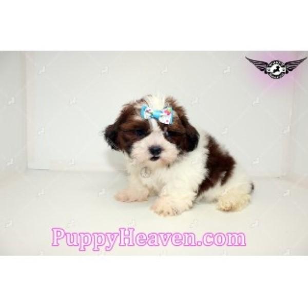 Puppy Heaven Shih Tzu Breeder In Reseda California