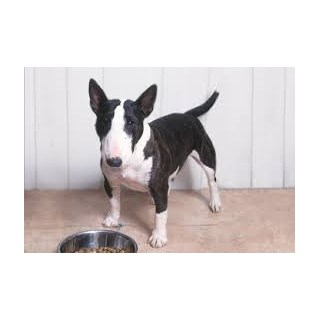 picture from Best Bull Terriers a Bull Terrier breeder