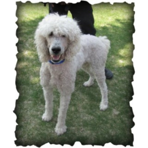 Poodle Standard breeder Pocatello 25092