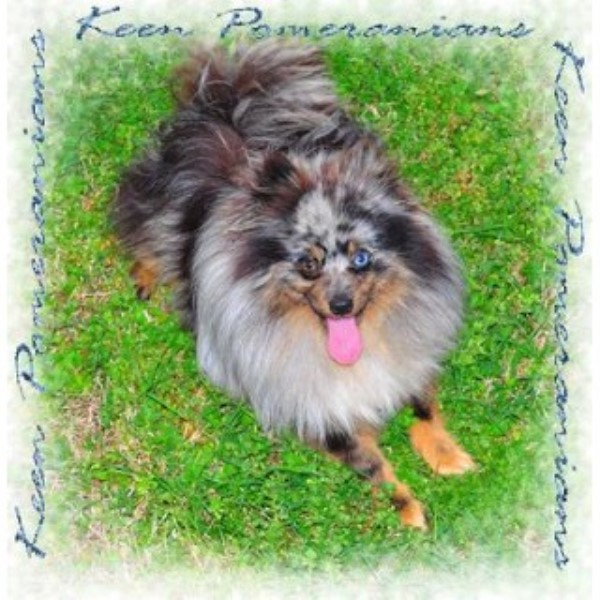 pomeranian puppies for sale in alabama keen pomeranians pomeranian breeder in huntsville alabama 1565