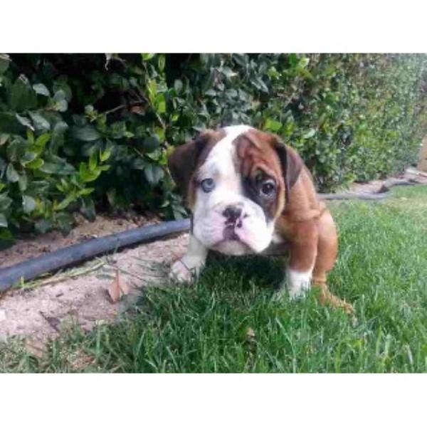 Uncle Sam Champion English Bulldogs English Bulldog Breeder In Los Angeles California