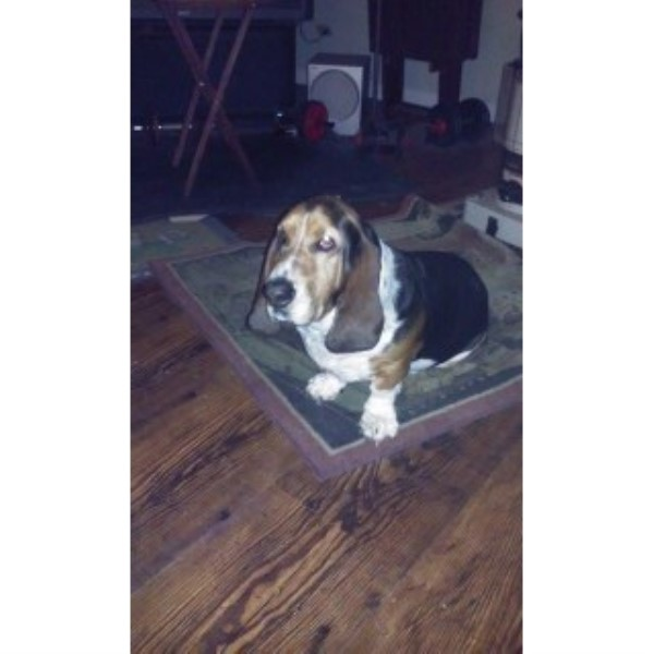 Basset Hound breeder Oregon 25053