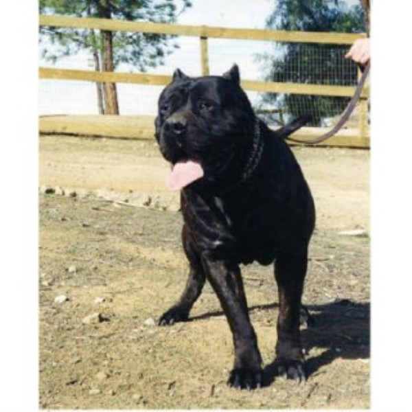 Mastiff breeder Riverside 23690