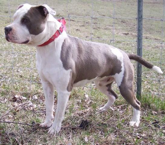 Aesir Amstaffs American Staffordshire Terrier Breeder In