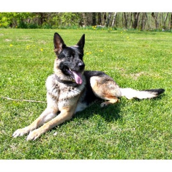 German Shepherd Dog breeder Bangor 21708