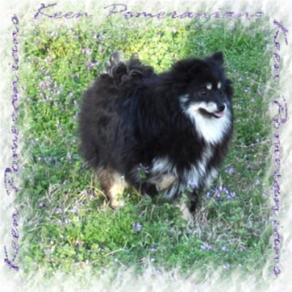 pomeranian puppies for sale in alabama keen pomeranians pomeranian breeder in huntsville alabama 3717
