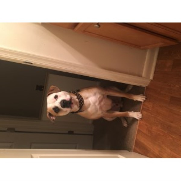 Dewaylin Sora, American Bulldog Stud in Hampton, Virginia