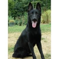 German Shepherd Dog Breeders In Florida Page 1