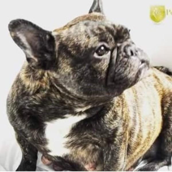 Perdue Hills French Bulldog Breeder In Borden Indiana