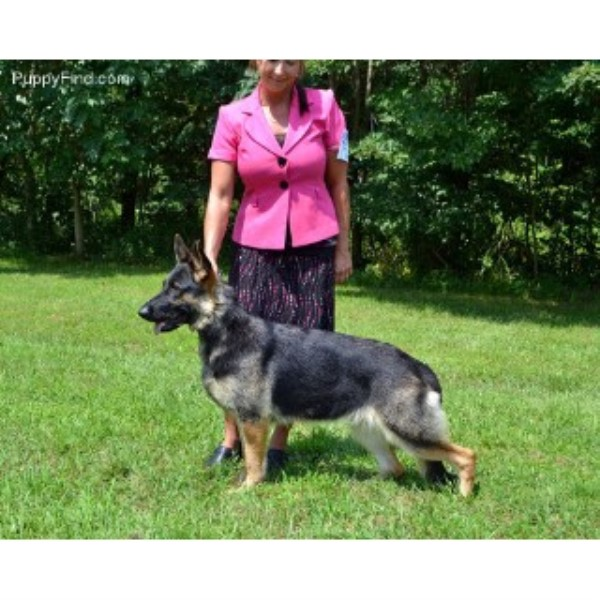 GSD,Alsatian breeder in Woodsfield, Ohio