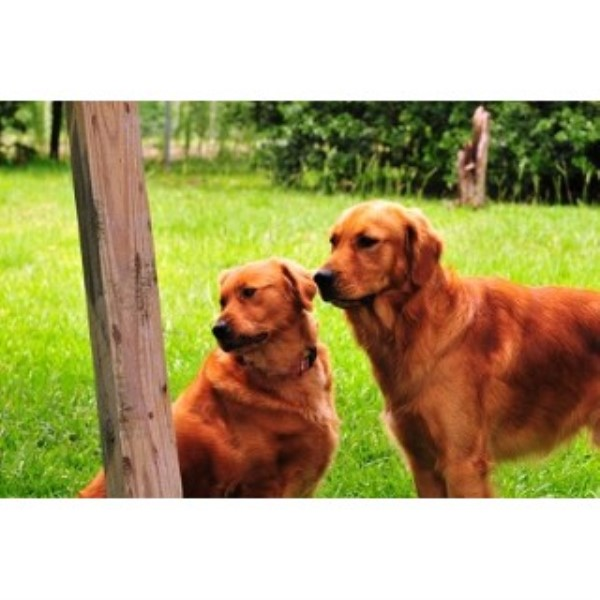 Puppies in Louisiana, Golden Retriever Breeder in Amite