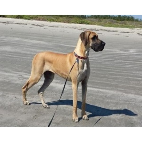 Arrow Wood Great Danes Great Dane Breeder In Shepherd Texas