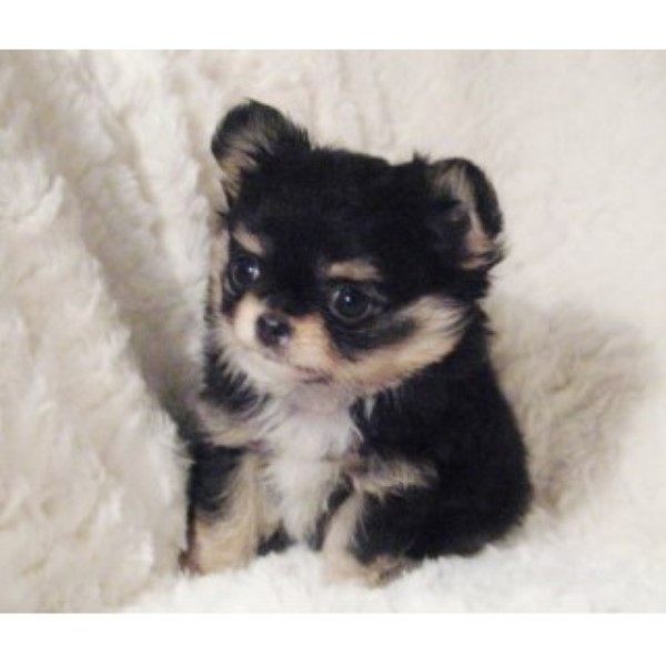 picture from Victory Acres Chihuahuas a Chihuahua breeder