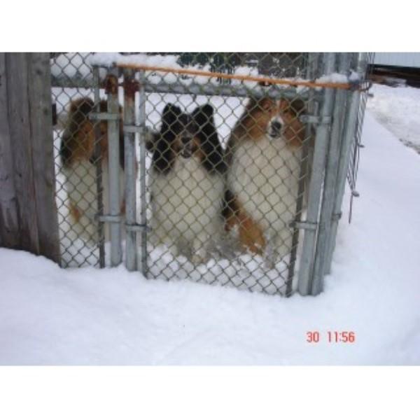Jopavist Shetland Sheepdogs Shetland Sheepdog Breeder In Brookfield New Hampshire