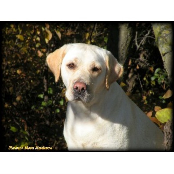Labrador Retriever breeder Prior Lake 13475