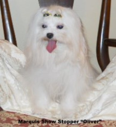 Marquis Maltese, Maltese Breeder in Charleston, West Virginia