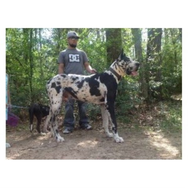 Great Dane breeder Hockley 23679