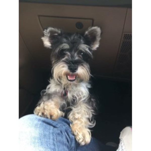 Stony Point Schnauzers Miniature Schnauzer Breeder In Beebe Arkansas