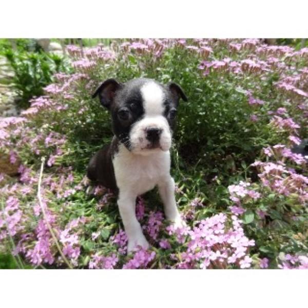 My Boston Babies Boston Terrier Breeder In Charles City Iowa