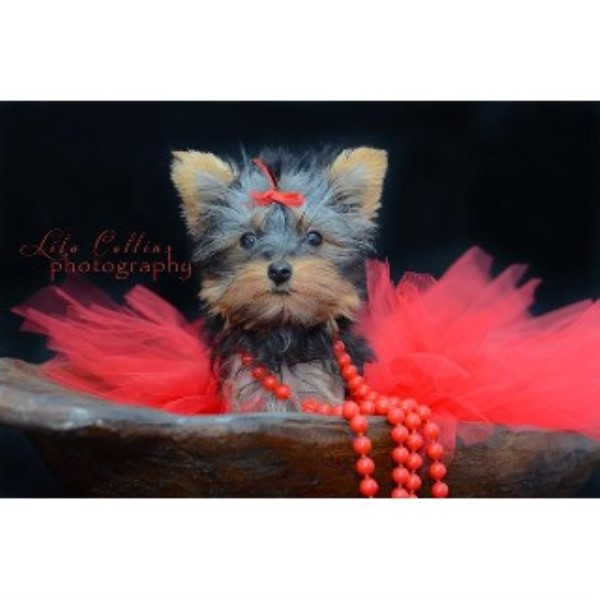 Yorkies By Raven, Yorkshire Terrier Breeder in London, Kentucky