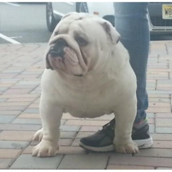 itsabulldogsworld com, english bulldog stud in bayonne, new jerseyenglish bulldog stud 21735