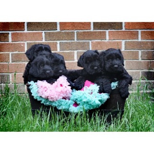 Giant Schnauzer breeder in South Carolina