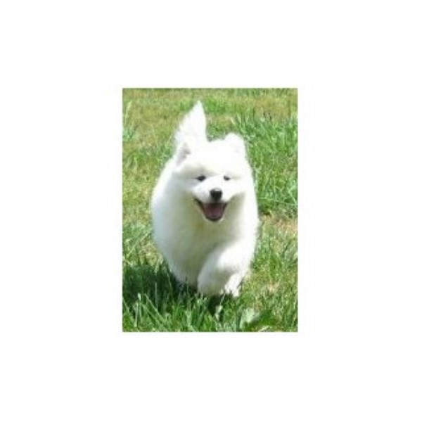 Samoyed Dog Rescue Indiana