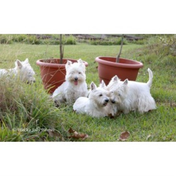 Welch Jolly Westies, West Highland White Terrier Breeder in