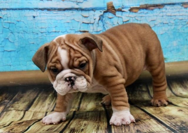 Bulldogs Of Long Island French Bulldog Breeder In Port Jefferson Station New York