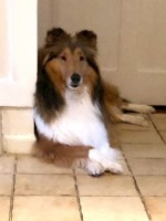 Collie Breeders In Connecticut