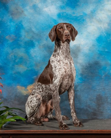 German Shorthaired Pointer Stud 27448