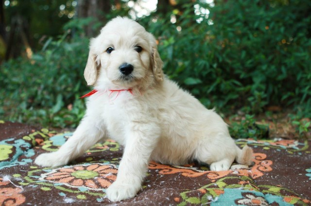 Parfait Mischen Goldendoodles Goldendoodle Breeder In