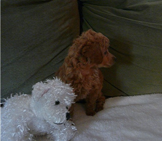 Dolittle Toy Poodles Non Biz Poodle Toy Breeder In
