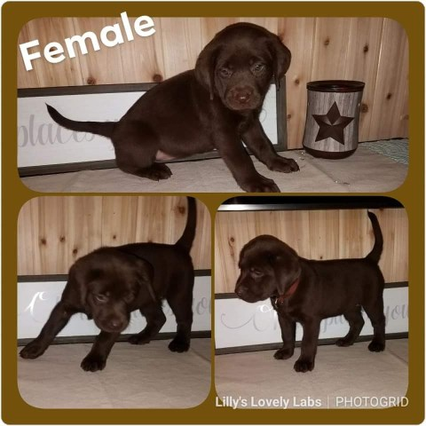 Labrador Retriever Breeder 26228