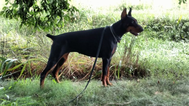 Tks Royal Dobermans Doberman Pinscher Breeder In Polk Nebraska