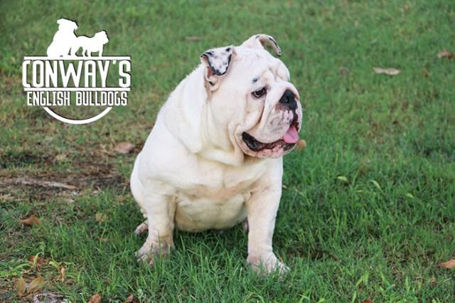 Conway S English Bulldogs English Bulldog Stud In Phoenix Arizona