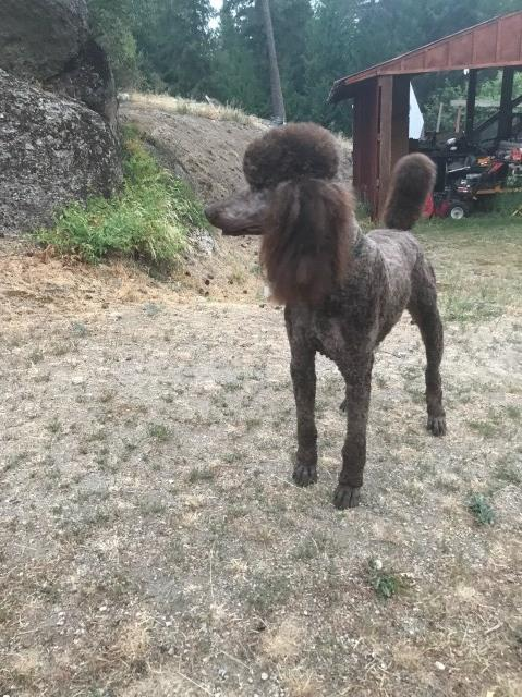 My Royal Puppies Poodle Standard Stud In Spokane Washington