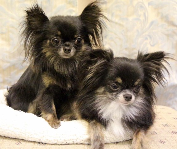 Cane River Chihuahuas, Chihuahua Breeder in Natchitoches