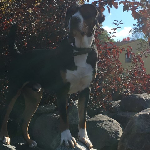 Cathy Peterson Greater Swiss Mountain Dog Stud In Eagan