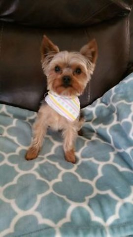 Catherine Herr Yorkshire Terrier Stud In Monroe Michigan